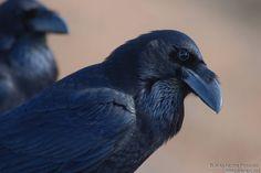 Grand Corbeau - Corvus corax