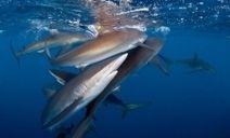Shark Diving in Cuba's Gardens of the Queen