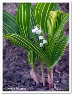 Variegated Lily-of-the-Valley (Convallaria majalis 'Vic Pawlowski's Gold')