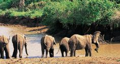 You can see some of the biggest elephants in Africa on the Tembe Webcam in the Zulu Kingdom Wetland Park, Biggest Elephant, Kwazulu Natal, Picture Postcards, The Province, Out Of This World, World Heritage Sites, Elephants, South Africa
