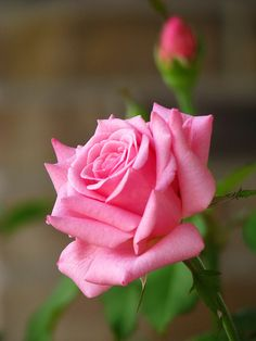 hybrid tea roses planting tips Beautiful Flowers Wallpapers, Beautiful Rose Flowers, Flowers Nature, Amazing Flowers, Pretty Flowers, Pink Flowers, Flowers Garden, Exotic Flowers, Cactus Flower
