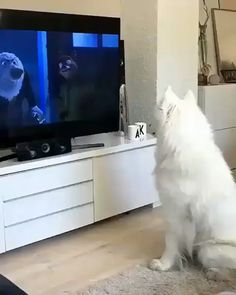 Pets And Animals: Here's what happens when a Samoyed is very focused. Cute Funny Animals, Cute Baby Animals, Funny Dogs, Animals And Pets, Animals Sea, Nature Animals, Funny Husky, Cute Puppies, Cute Dogs
