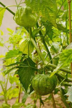Tomatillo plant growing tips  For powdery mildew:  spraying affected leaves and fruit with a 50-50 solution of nonfat milk and water, or a weak dilution of baking soda in water (1 teaspoon of baking soda to 1 quart of water)