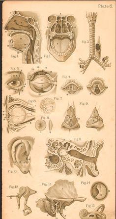 vintage medical anatomy illustration