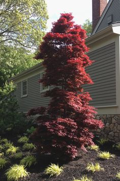 Buy Twomblys Red Sentinel Japanese Maple - FREE SHIPPING - 2 Gallon Size Trees For Sale Online From Wilson Bros Gardens Japanese Maple Varieties, Japanese Maple Garden, Dwarf Japanese Maple, Japanese Gardens, Red Maple Tree, Red Tree, Dwarf Gardenia, Acer Trees, Acer Palmatum