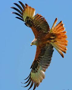 Golden Eagle                                                                                                                                                                                 More