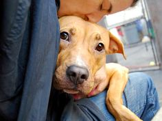 Manhattan Center MIAH – A1032061 *** EXPERIENCED HOME, NO CHILDREN *** FEMALE, BROWN / WHITE, AM PIT BULL TER MIX, 1 yr, 6 mos STRAY – STRAY WAIT, NO HOLD Reason STRAY Intake condition UNSPECIFIE Intake Date 04/03/2015, From NY 10453, DueOut Date 04/06/2015,