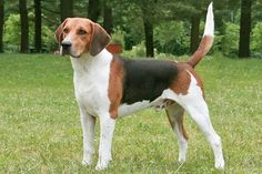 The Harrier. (A standard size beagle [for comparison] ) It resembles an English Foxhound English Foxhound, American Foxhound, Harrier Dog, Medium Sized Dogs Breeds, Mastiff, Most Popular Dog Breeds, Golden Retriever, The Fox And The Hound, Medium Dogs