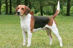 harrier dog
