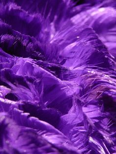 purple.quenalbertini: Purple