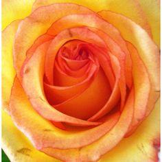 Orange rose-thanks husband!