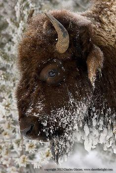 Frozen Bison Portrait by Charles Glatzer on 500px