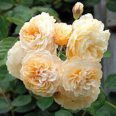 Un incontournable parmi les roses musquées
