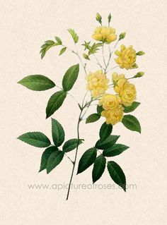 Yellow Banksia Rose (we had one, once, at a flat we lived in. It was fabulous.)
