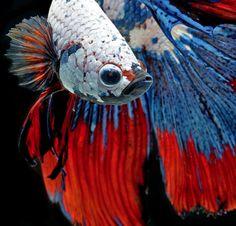 """Visarute Angkatavanich conseguiu closes incríveis para seus retratos de peixes lutadores siameses, aqui no Brasil também conhecido como """"pei..."""