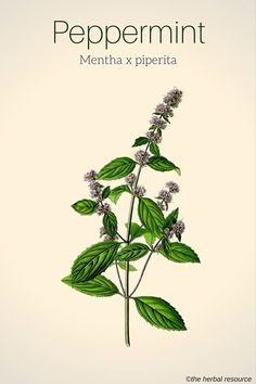 peppermint herb                                                                                                                                                                                 More
