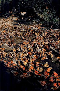 This is on my bucket list. To see and photograph the monarch migration. Mother Earth, Mother Nature, Reptiles, Monarch Butterfly Migration, Butterfly Project, Butterfly Wallpaper, Beautiful Butterflies, Science Nature, Aesthetic Wallpapers