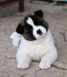 Cão da raça Akita = pra sempre ao seu lado . Na verdade não  importa qual é  o seu animal de estimação  ,se tem umas das coisas mais verdadeira do mundo  ,é o amor deles por nós #mypetmyfriends ❤