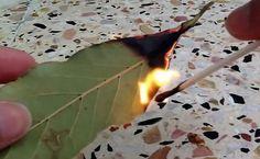 Não imagina o bem que faz queimar folhas de louro em casa!