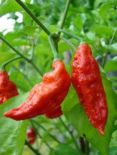 "Hot Pepper /""Orange Habanero/"" ~ 20 top qualité Graines-Extra Chaud-productif"