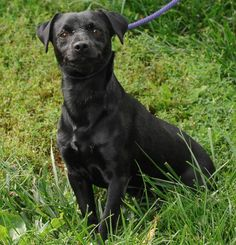 Taylor/Chihuahua Mix • Young • Male • Small Animal Alliance Lambertville, NJ--TAYLOR is one of many dogs that came from a home with too many dogs. TAYLOR is about 2 years old and weighs about 10 pounds, he is all black.