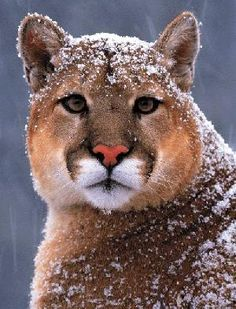 Puma (or cougar or mountain lion or catamount) in the snow.