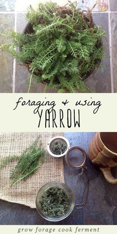 Yarrow is one of the most beneficial wild plants that there is. Foraging or wildcrafting for yarrow is easy and fun, you might even have some in your own backyard! Learn how to identify yarrow, and how to use it in your herbal medicine practice.