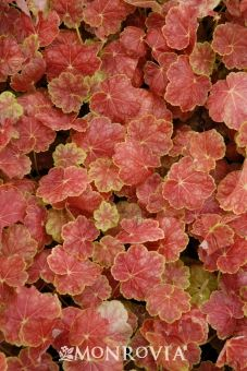 Tiramisu Coral Bells  A breakthrough in Heuchera breeding! In both spring and fall, the chartreuse foliage has a heavy smattering of brick red coloration that radiates out from the midrib of each leaf. During summer, the leaves lighten and develop a light silvery overlay. Cream-colored flowers appear in midsummer, although it is grown more for its fantastic foliage. Compact habit is perfect for containers or as edging. Increased tolerance of high heat and humidity over other species.