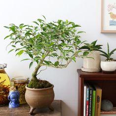 フィカス・ベンジャミン.ヌダ 盆栽 / Ficus benjamina var.nuda BONSAI