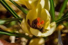 "It looks like this bee is ""buzzed"" - it's resting upside-down inside a flower in Marshalls Creek"
