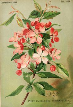 Pirus floribunda