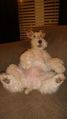 Aubrey ... after Christmas dinner ... wire fox terrier