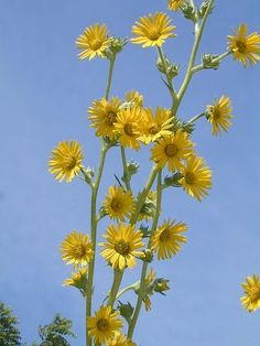 Silphium laciniatum (Compass Plant) - The leaves point north/south. It flowers like crazy in late Summer. Great native perennial alternative for those who love sunflowers, but don't like to plant them every year.