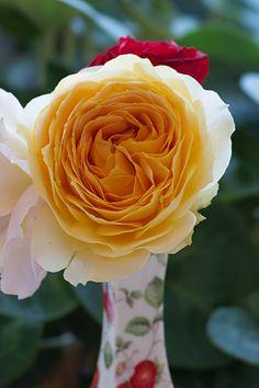 のんくり日和: 【バラ】キャラメルアンティークとツル・ヘルツアスが咲きました