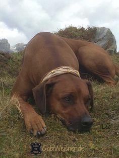 Luxus Halsband im Leder Mix mit 5 Ohr-Tunnel, für große Hunde