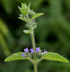Holy Basil, Queen of Herbs is often called 'the incomparable one', an herb which nourishes perfect health and promotes long life.  Ancient texts regard Tulsi as a manifestation of Lakshmi incarnated in plant form, carrying an energy of purity and wisdom | Tulsi