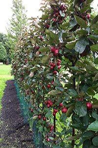 Haag minitree redlane appeltjes. Heerlijk fris zuur van smaak. Gewoon zo tussendoor of heerlijk als appelmoes of om me te bakken. http://www.minitree.nl/info/15-minitree-fruithaag