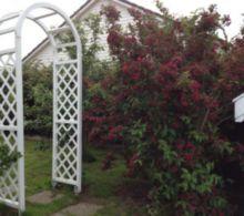 rosebue