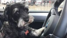 14 Things Only Schnauzer Owners Would Understand – Page 2 – The Paws
