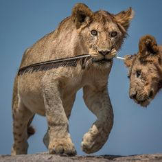 """""""Several lion cubs were playing on the rocks in Tanzania when this one found a feather and processed to parade around with his new treasure."""" ••Pietro Luraschi Photography••"""