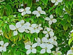 山法師(ヤマボウシ)http://sun.ap.teacup.com/senjukanon/1758.html my blog