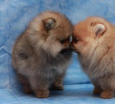 Doesn't get any cuter than this ♥ Poms