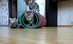 Ninja Kittens Roll Around in Mat (Video)