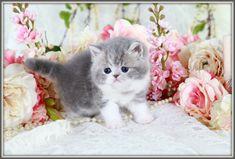 Chinchilla Blue Golden Teacup Persian Kitten for Sale