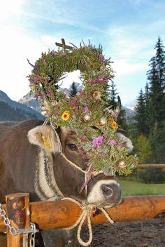 Alpine cattle drives & herding #kleinwalsertal #visitvorarlberg Cattle Drive, Festivals, Shapes