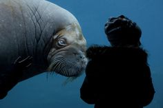 Photos of the day - March 5 2017A walrus swims in the aquarium...  Photos of the day - March 5 2017  A walrus swims in the aquarium in the Hagenbeck Animal Park in Hamburg Germany; Contractual employees of the National Health Mission shout slogans inside an Indian Police vehicle after they were detained during a protest in Srinagar the summer capital of Indian Kashmir; Hindu men from the village of Nandgaon celebrate covered with colored powder the Lathmar Holi festival at the Radha Rani…