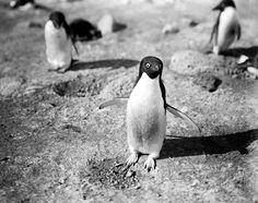 First professional Antarctic penguin photos, taken in 1913 by Herbert Ponting