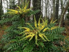 Mahonia 'Winter Sun' February Plant of the Month