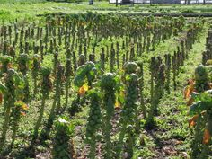 Planting Brussel Sprouts in Your Garden - http://www.organicfarmingblog.com/planting-brussel-sprouts-garden/