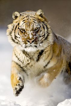 ~~ Siberian Tiger (by catman-suha) ~~